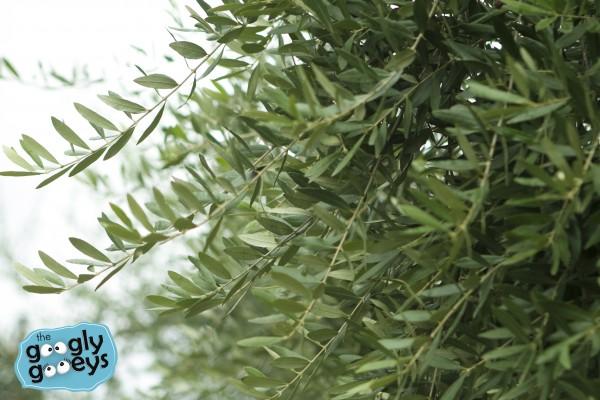 Olive Leaves Tuscan Region