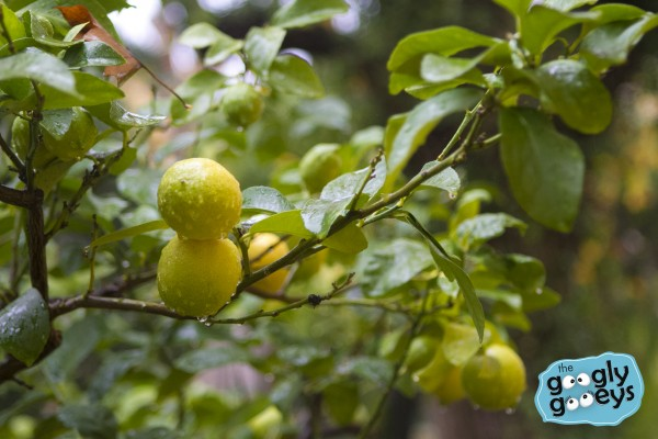 Citrus Plant Villa Camerata