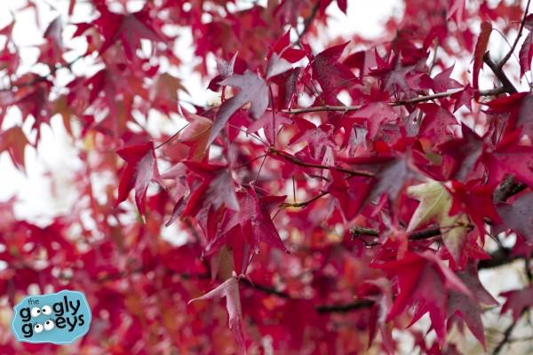 Maple Leaves Tuscan Region